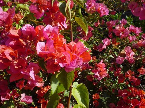 Rooting powder Bougainvillea Rosenka 5 cuttings