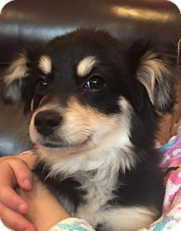West Milford Nj Chihuahua Papillon Mix Meet April A Puppy For Adoption Http Www Adoptapet Com Pet 122882 West Milford Australian Shepherd Chihuahua Mix
