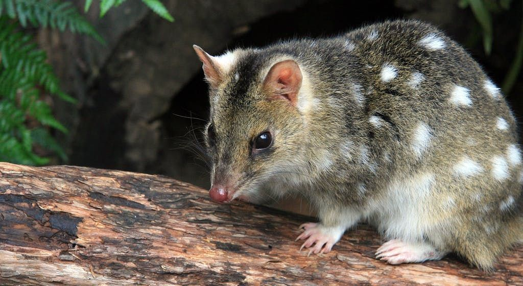Image of: Snow Leopard Endangered Eastern Quoll Australia National Geographic Australian Geographic Endangered Eastern Quoll Australia National Geographic