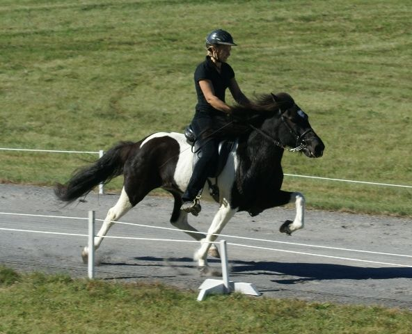 an Icelandic horse doing the flying pace.