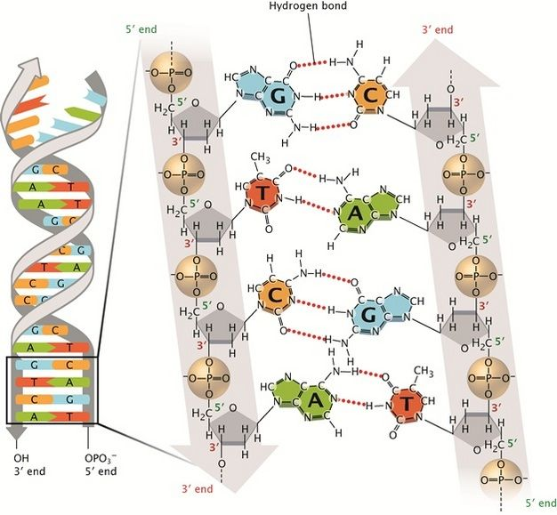 Discovery Of Dna Double Helix Watson And Crick Learn Science At Scitable Teaching Biology Dna Molecule Dna