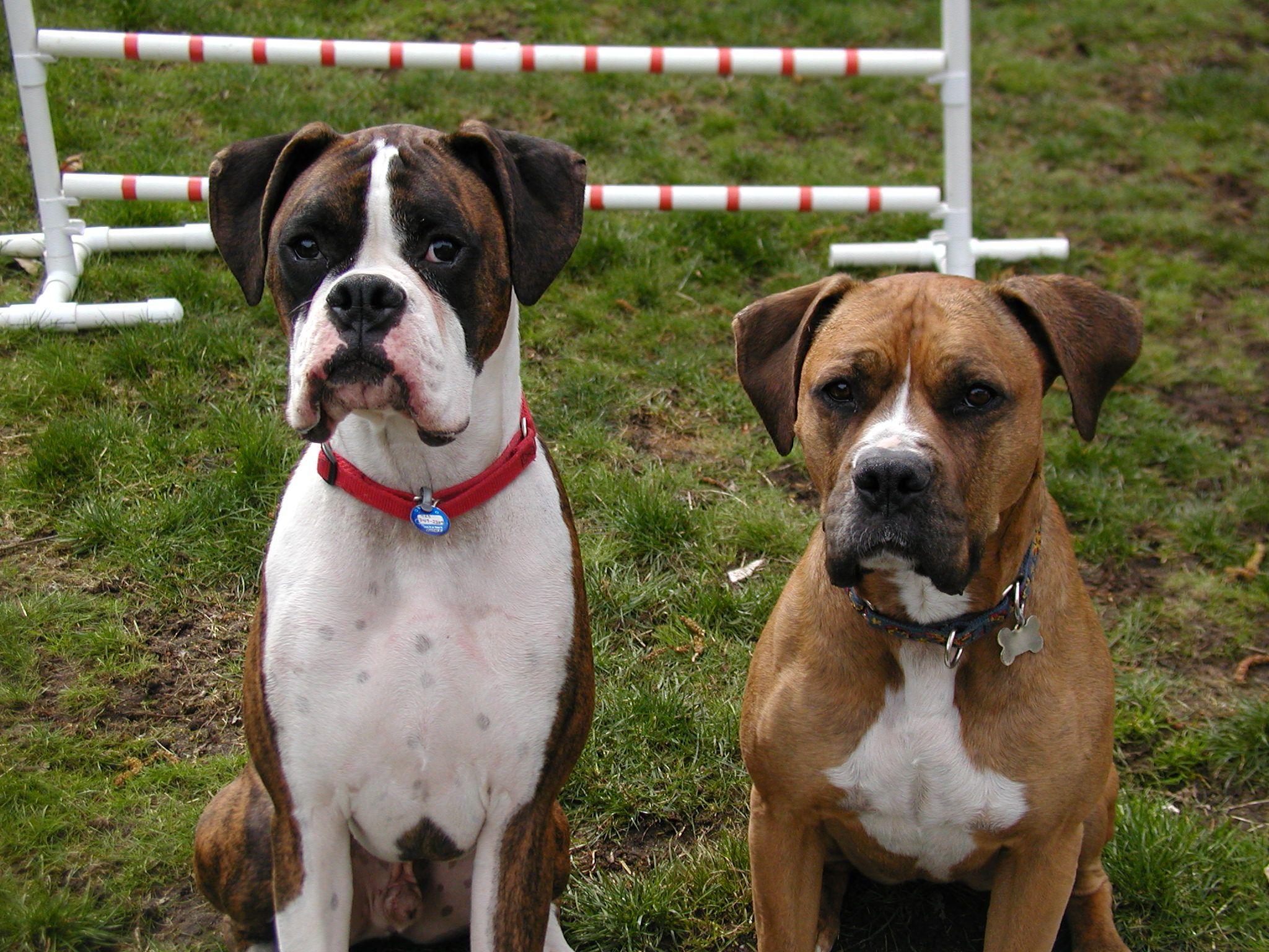 Boxer with a boxer bulldog mix   Pups I love   Pinterest