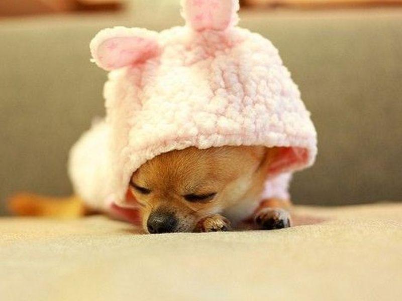 Gute Nacht Zehn Schlafende Hunde Die Man Sehen Muss Seite 10 Baby Animals Baby Chihuahua Cute Chihuahua