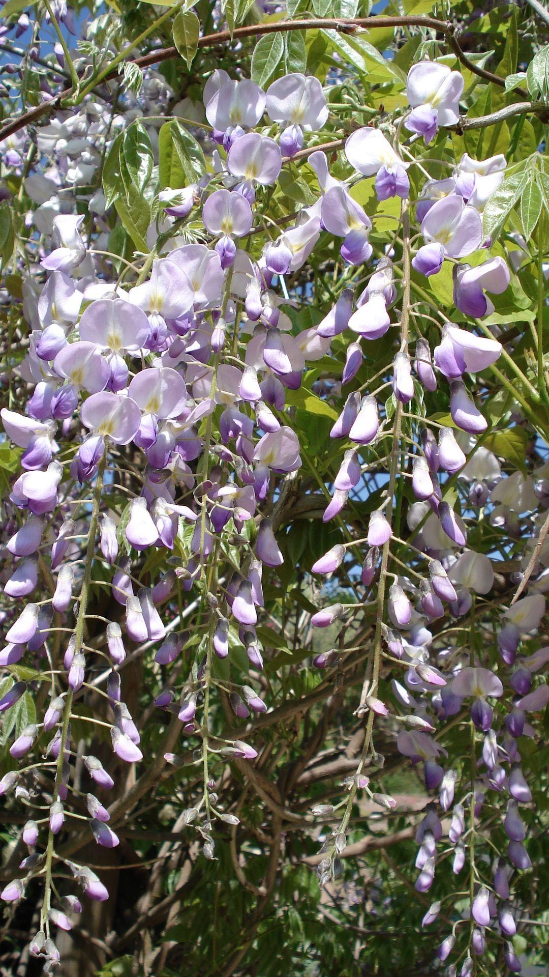 Mon jardinma passion mon jardinma passion pinterest wisteria