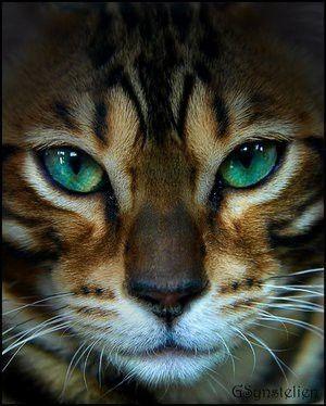 Amazing bengal cat