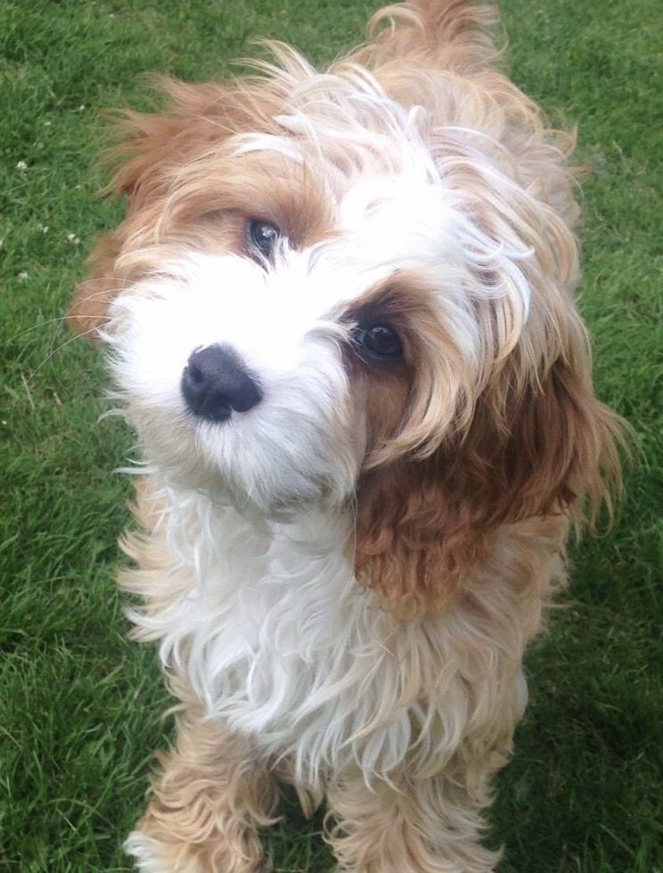 Cavapoo Puppies A Complete Guide For This Breed Cavapoo Cavapoo Puppies Labrador Puppy