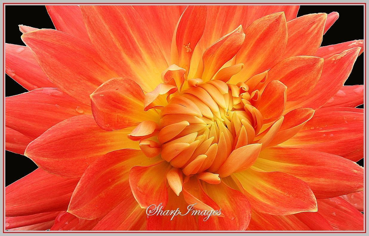 Orange Dahlia By Sharp Images On 500px Pr Flowers Pinterest
