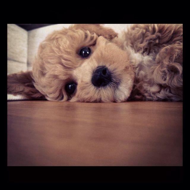 Little Poochon I 3 His Face Poodle Mix Dogs Bichon Poodle Mix Poodle Mix