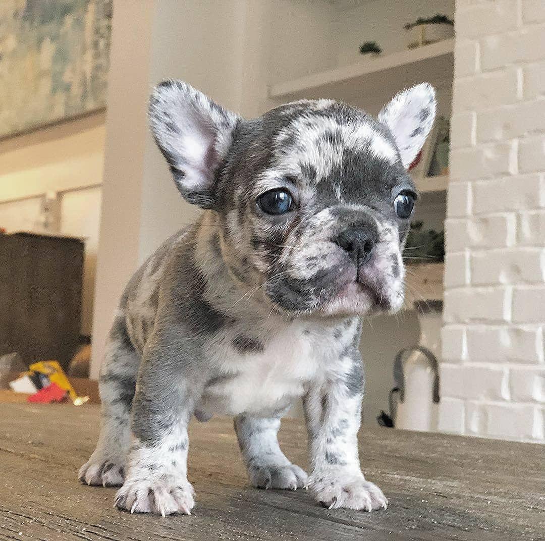 beautiful merle french bulldog puppy | bulldog puppies