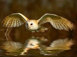 Image result for Barn owl | Barn owl images, Barn owl ...