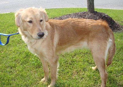 This Is Daisy Mae Approx 3 Yrs She Was Rescued From A Hoarder She Has Had A Litter Of Pups In The Past A Golden Retriever Golden Retriever Rescue Retriever