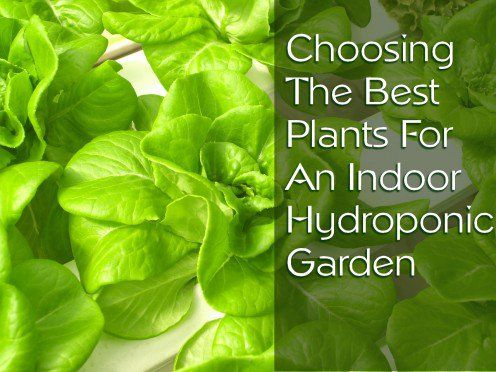 Choosing the Best Plants for Indoor Hydroponic Gardens