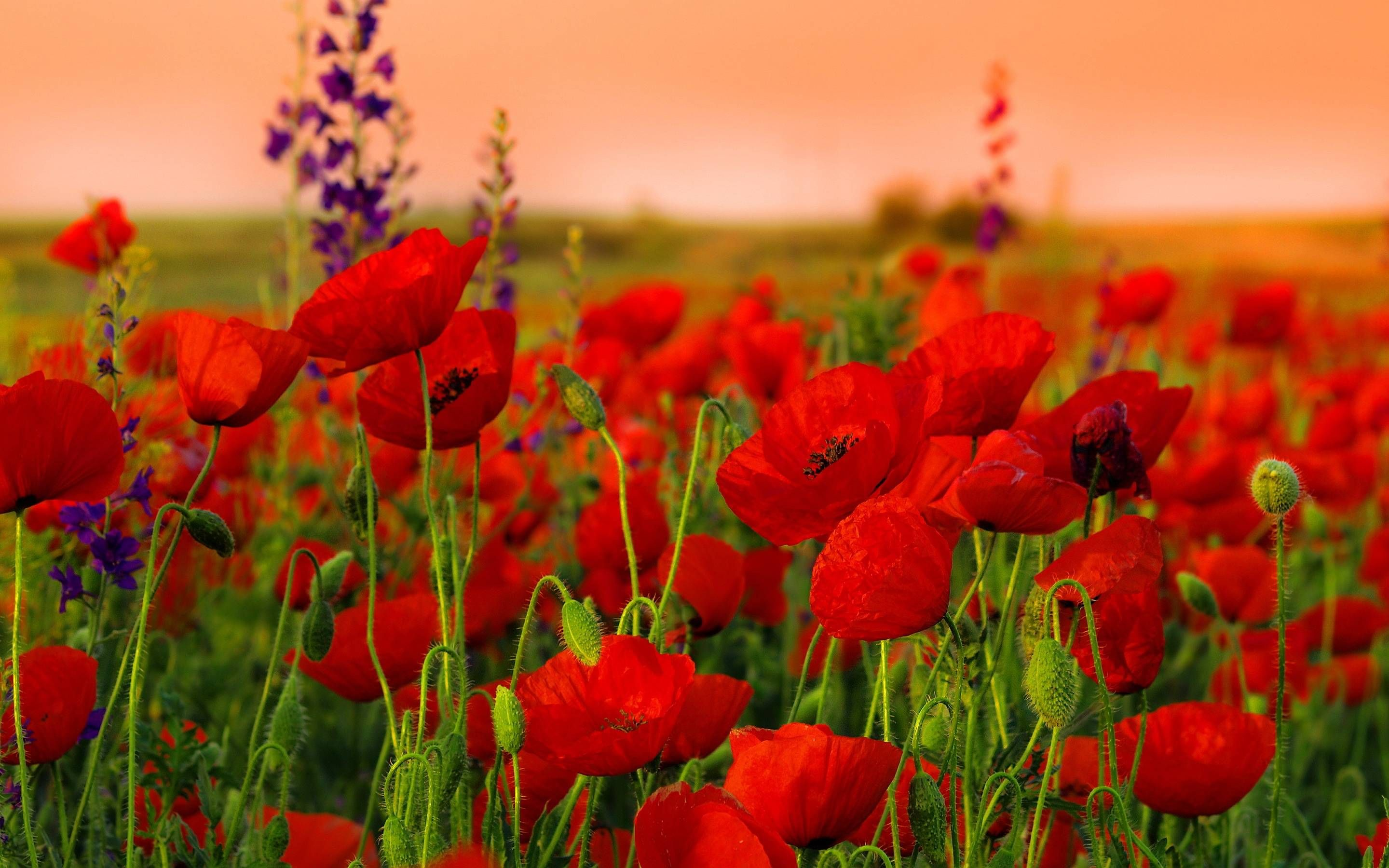 Red Poppy Wallpapers Wallpaper Cave Red poppies