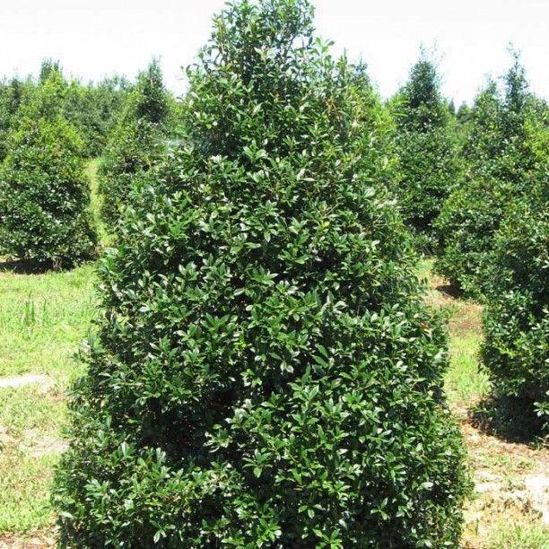 Small Ornamental Trees Nc: Home » Trees And Shrubs » Trees