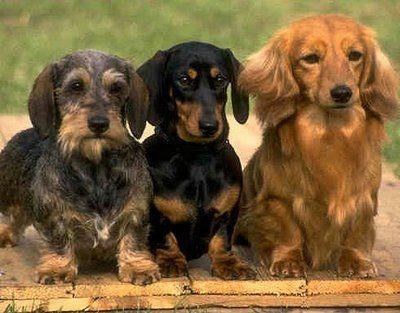 Blown Away Dachshund Dog Miniature Schnauzer Puppies Dachshund