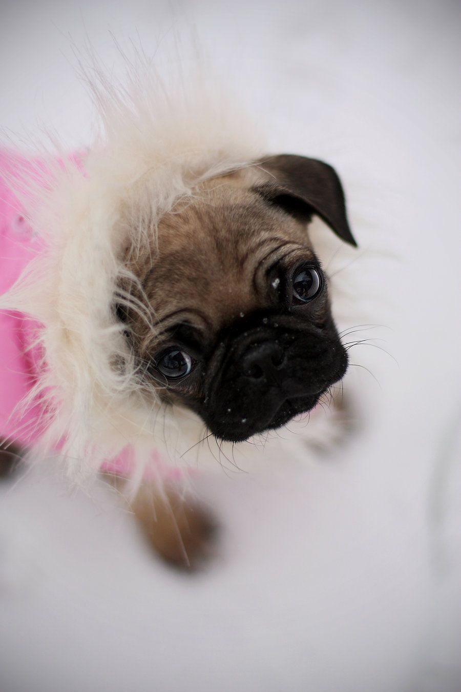 pug wallpaper, screensaver, background cute pug puppy | pug