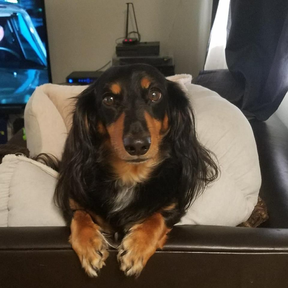 This Is My Doxie Loxley Dachshund Breed Long Haired Dachshund