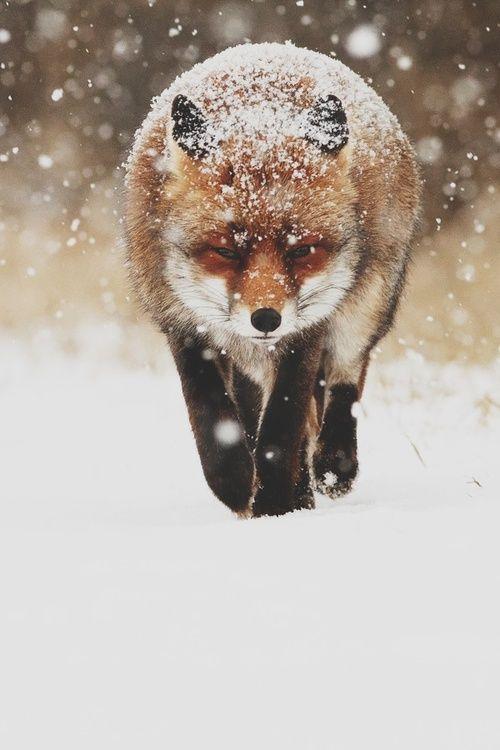 snowy fox / Snow