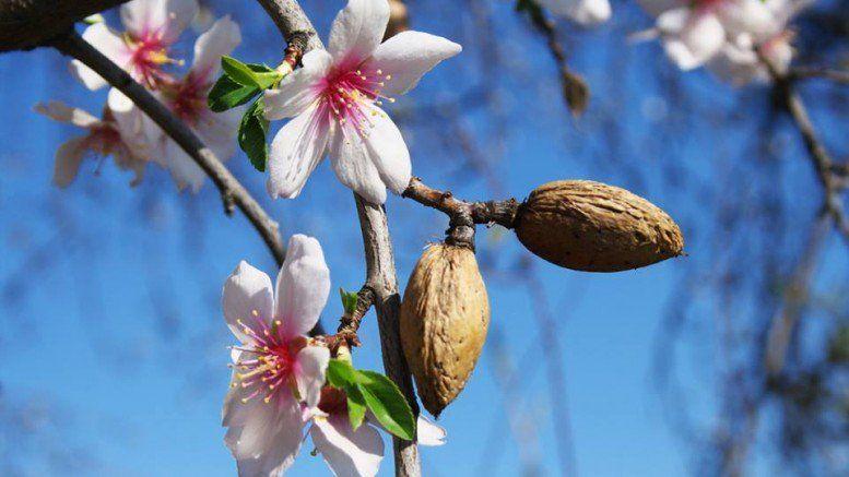 The Almond Tree Is Budding Almond Flower Almond Tree Almond Blossom