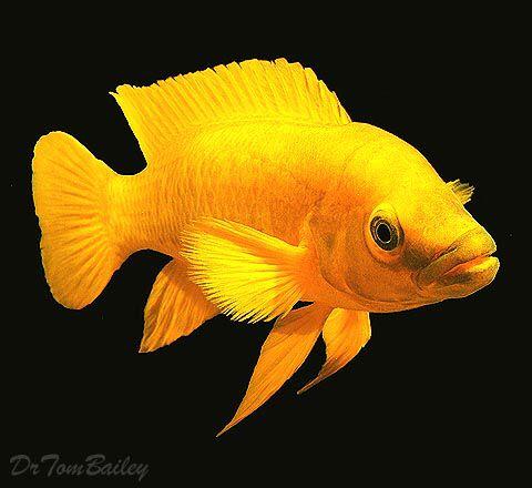 Neolamprologus Leleupi The Lemon Cichlid From Lake Tanganyika A Beautiful Fish Particularly If Fed Carote Freshwater Aquarium Fish Cichlids Aquarium Fish