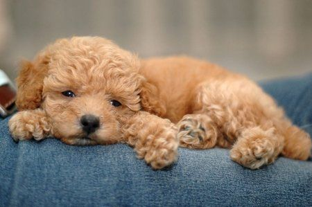 Mini Poodle Too Cute Toy Poodle Puppies Toy Poodle Poodle Puppy