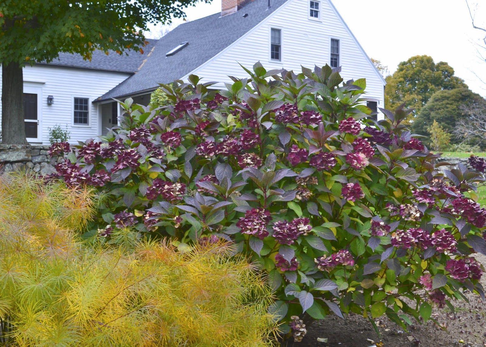 Hydrangea In Flower Threadleaf Amsonia Taking On Fall Color White