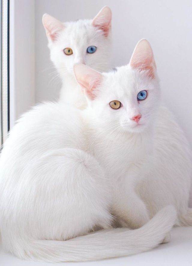 These Twin Cats Are Identical In Every Way They Re Also The Most Beautiful Cats In The World Cute Kittens Kissanpennut Ja Sopoja Elaimia