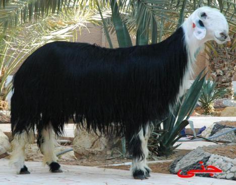 Saudi Arabia S Haroof Nejdi Schafe