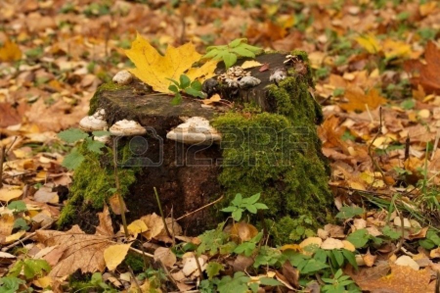 Dry rot fungus over tree stump in forest on green grass