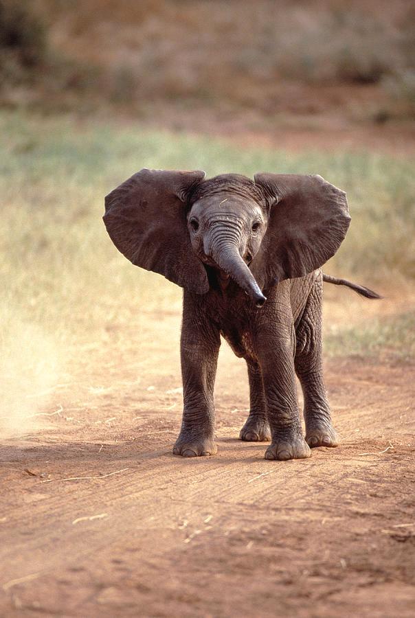 African Elephant Baby Loxodonta Africana Photograph By Elizabeth Delaney Baby Elephants Playing Elephants Playing Elephants Photos