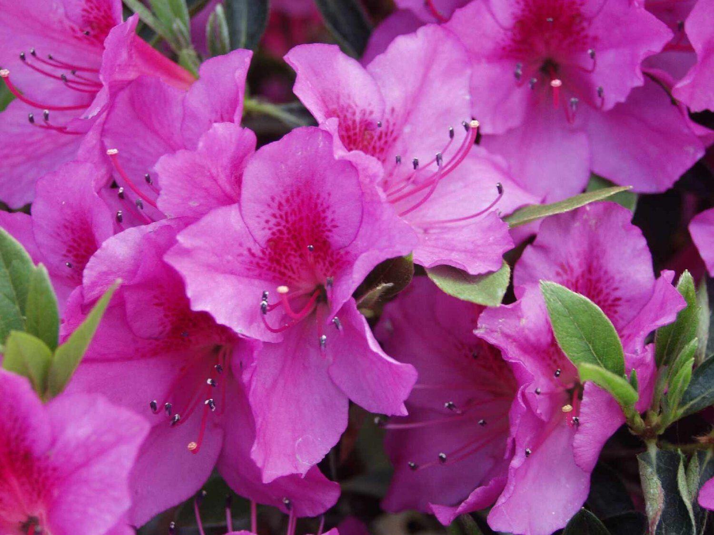 Azalea Rhododendron 'Formosa' Qty 40 Live Flowering