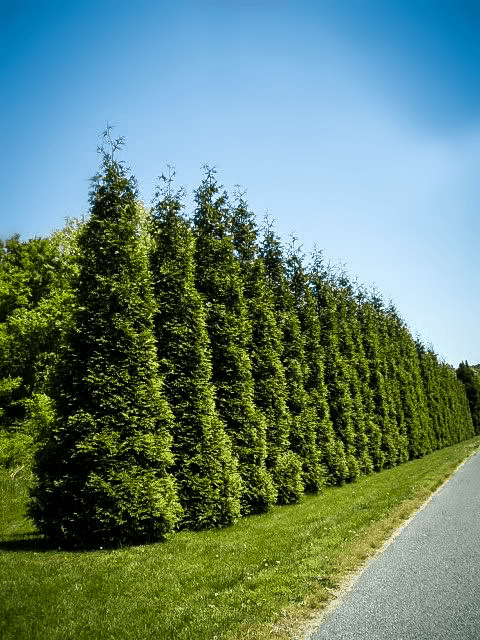 Best Privacy Trees For Your Backyard | Thuja green giant ...