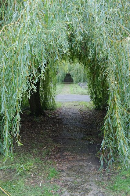 Willow Trees Willow Trees Garden Tree Tunnel Weeping Willow Tree