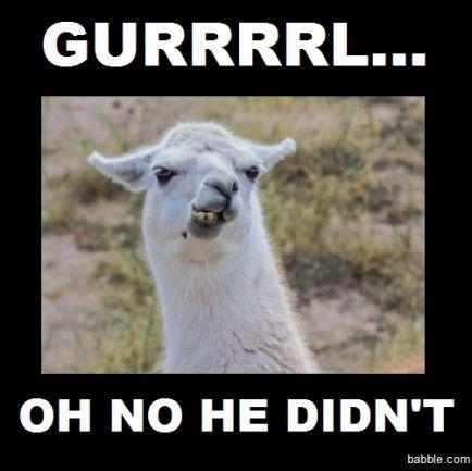 Image Result For Funny Llama Memes Llama Funny Llama Llama Drama