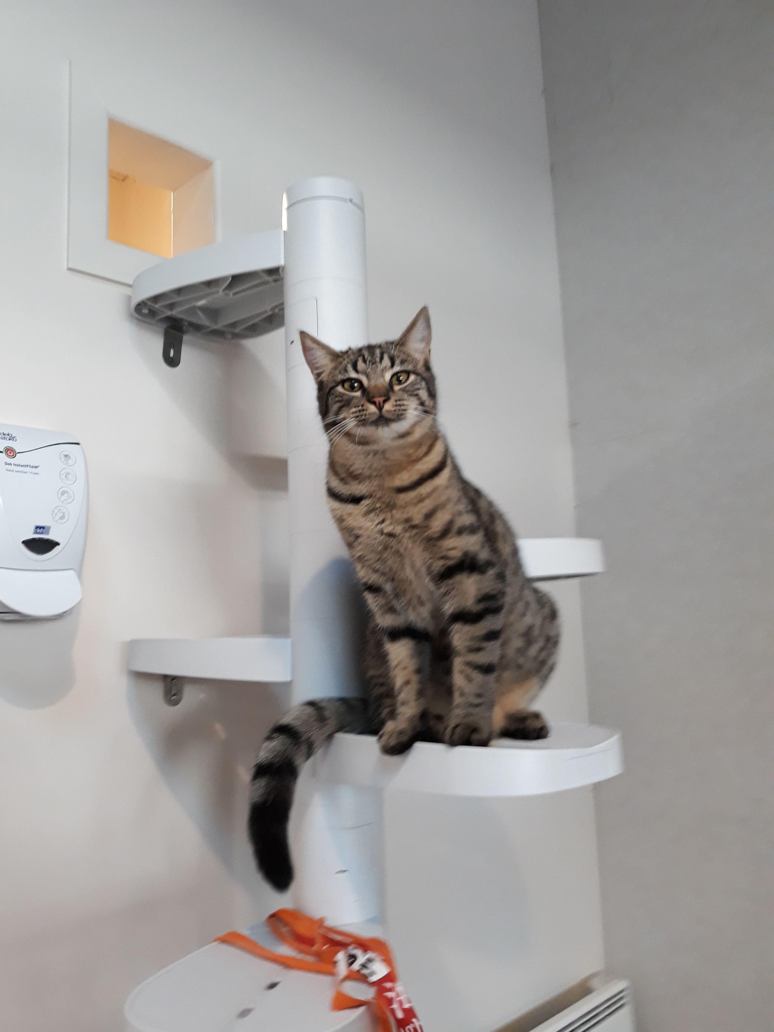 Mr Fox On His Monkee Tree At Neko Negru Cat Adoption Cafe In Wellington Cat Ladder Cat Adoption Cats