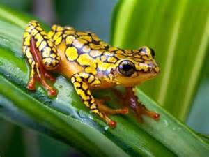 Amazon Rainforest Poison Arrow Frog Poison Frog Amphibian