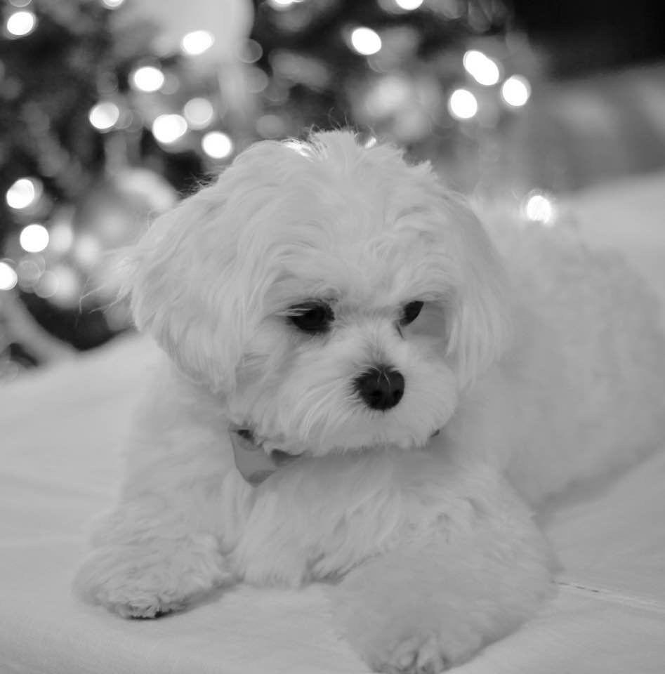 I love doc christmas 2016 maltese maltese puppy maltese