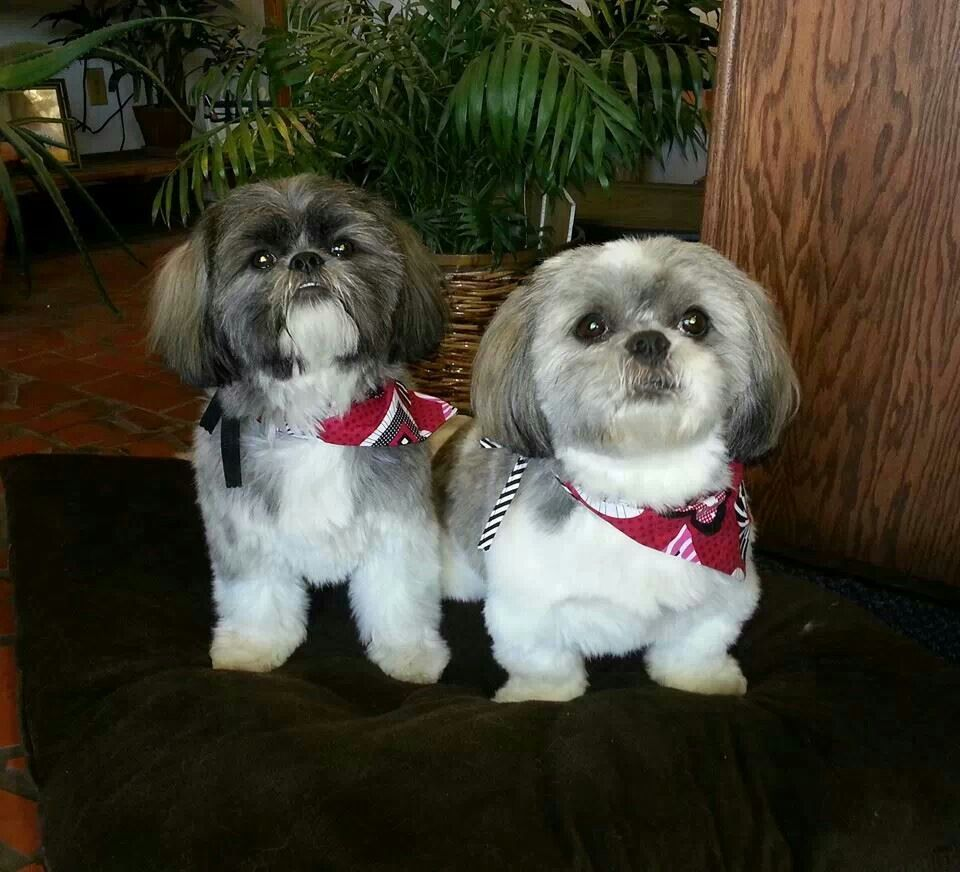 Father And Daughter Shih Tzu Puppy Baby Dogs Cute Dogs