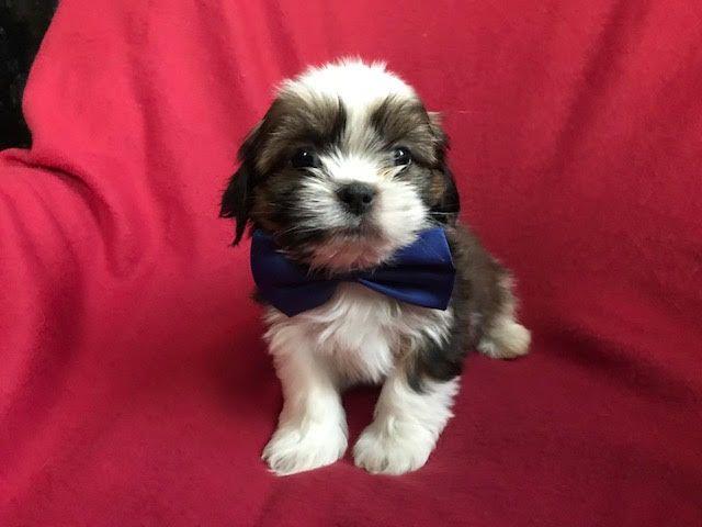 Shih Tzu Puppy For Sale In Peach Bottom Pa Adn 56262 On