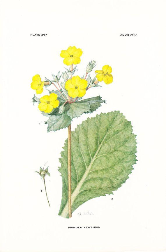 1926 Botany Print - Primula Kewensis - Kew Primrose - Vintage ...