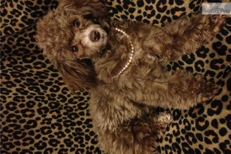 Meet Kitty A Cute Poodle Toy Puppy For Sale For 500 Beautiful