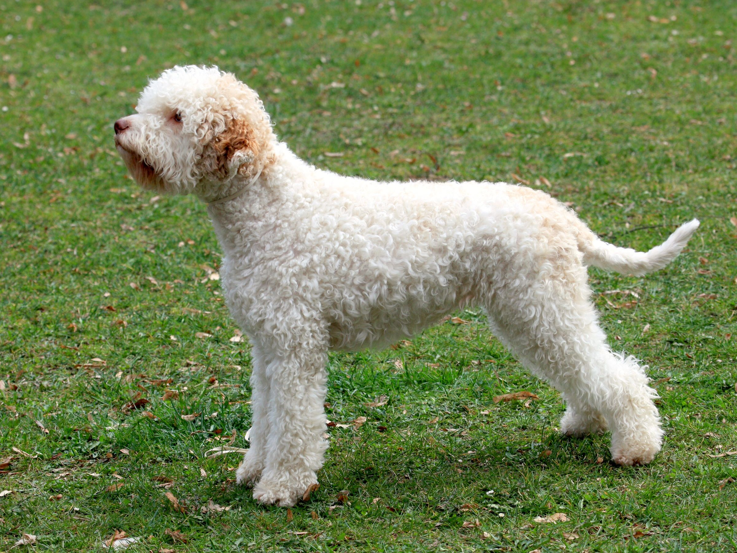 Discover Best Dog Toys For Your Beloved Lagotto Romagnolo Dogs