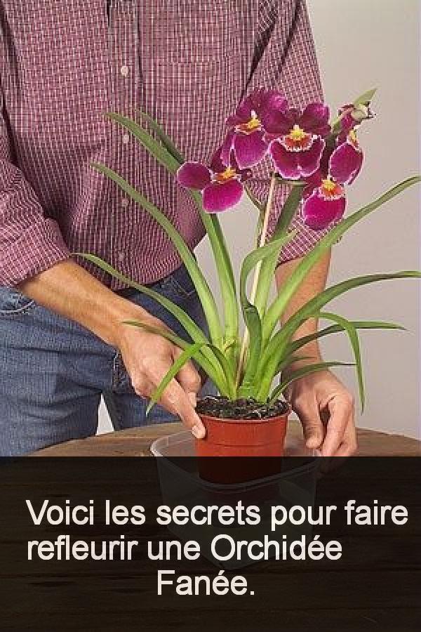 Voici Les Secrets Pour Faire Refleurir Une Orchidee Fanee
