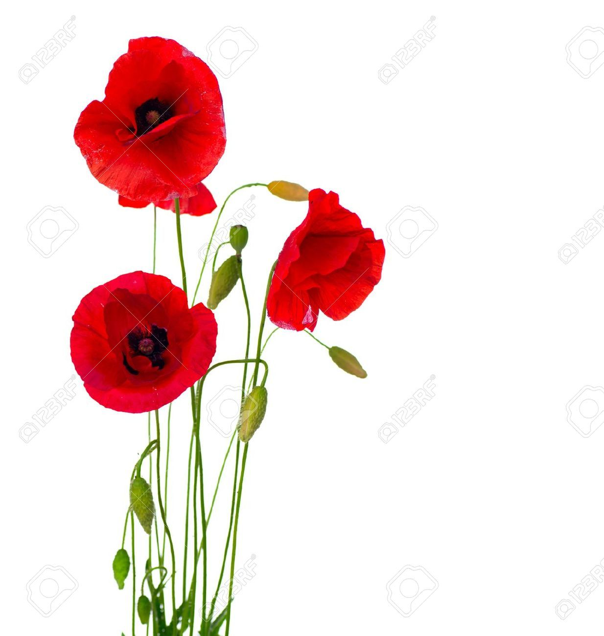 Poppy flower field at night royalty free stock photography image - Opium Poppy Stock Photos Images Royalty Free Opium Poppy Images