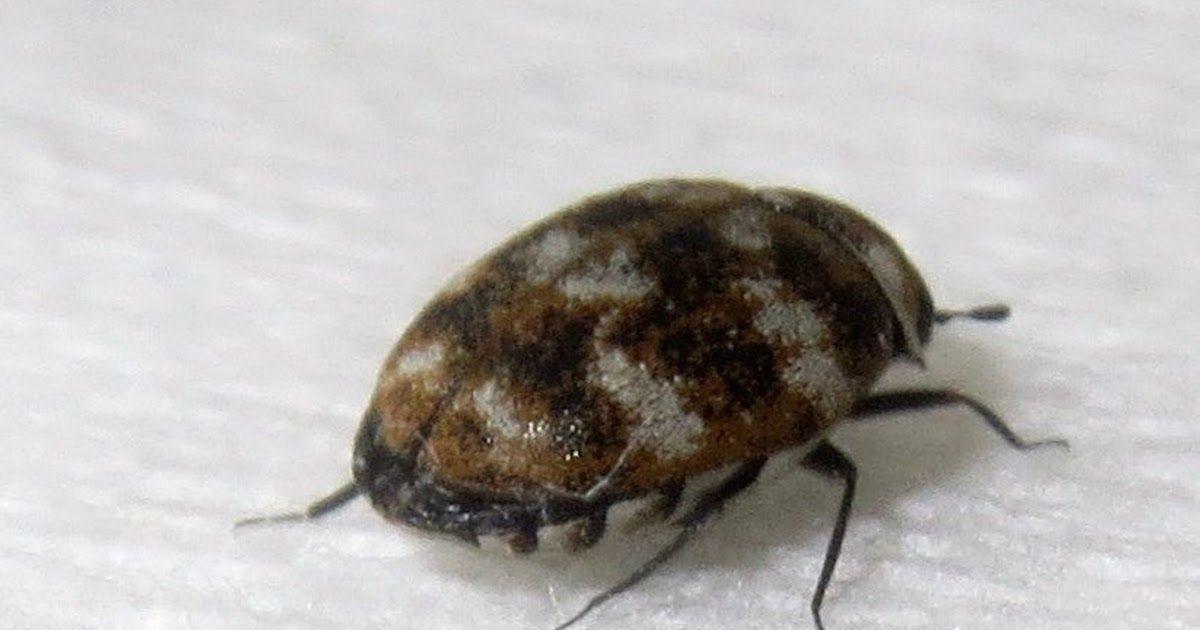Do Carpet Beetles Shed Skin in 2020 Beetle, Carpet