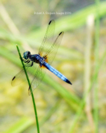 Wildlife Photographs.   Cool dragonfly.