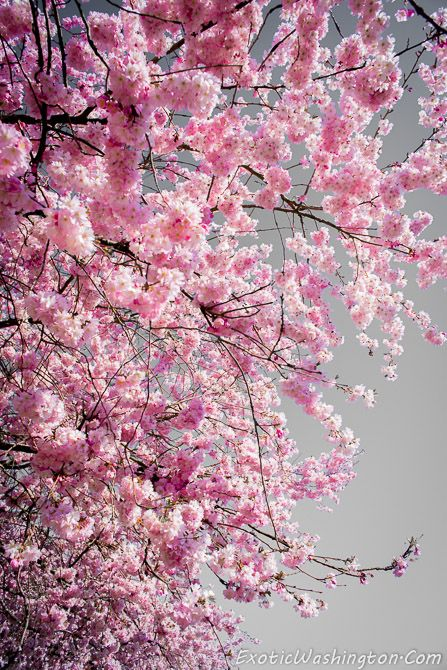 Cherry Blossoms At Fall City Part Ii Cherry Blossom Wallpaper Cherry Blossom Art Blossoms Art