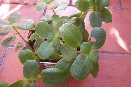 planta suculenta o crasa cuidados del frio - Buscar con Google