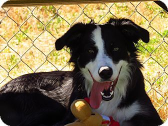 Meridian Id Border Collie Australian Shepherd Mix Meet Cooper