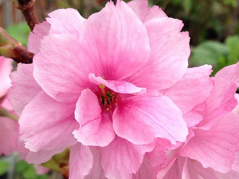 Flowering Cherries A Gift From Japan Flowering Cherry Tree Flowers Cherry Blossom Festival
